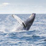 baleine république dominicaine